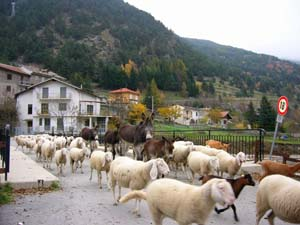 Chambons sheep going