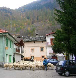 Cambons sheep