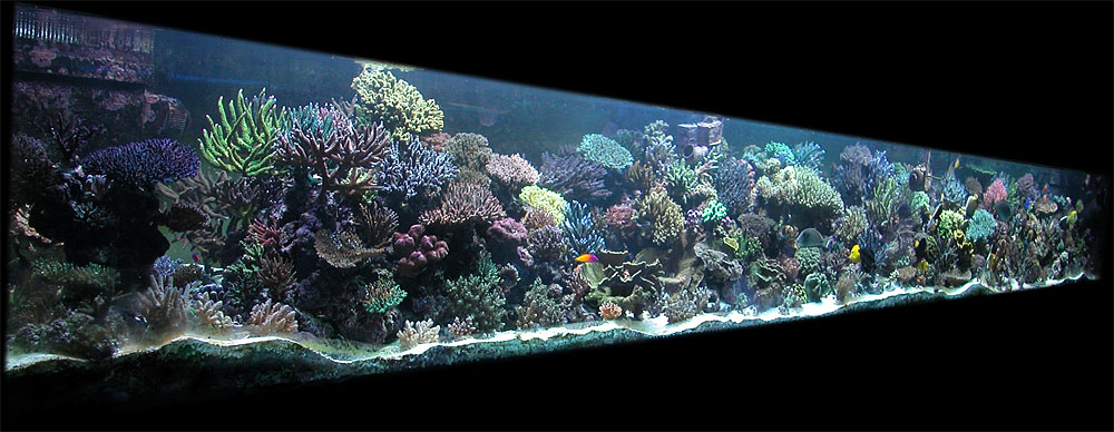 Acropora robusta aquarium recifal for Aquarium recifal complet
