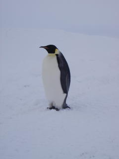 The penguin I got to see during sea ice training