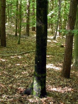 Black beech trunk