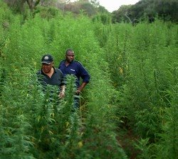 an analysis of the illegal goldmine and the production of hemp Hemp is an annual crop, which means it must be stored in order to be processed throughout the year, further adding to the cost of using it — and to the incentive for using something else production of hemp varies considerably year to year, but in general, it had been steadily but slowly rising.