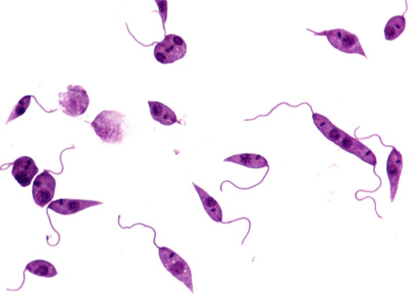 Leishmania donovani labeled
