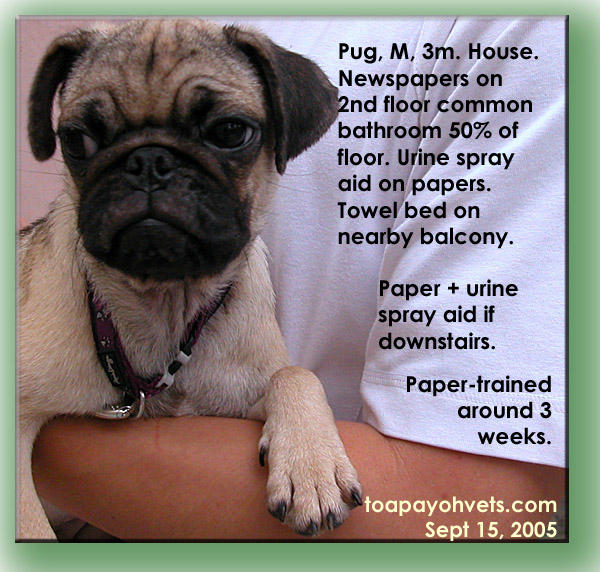 how to train pug puppy for toilet