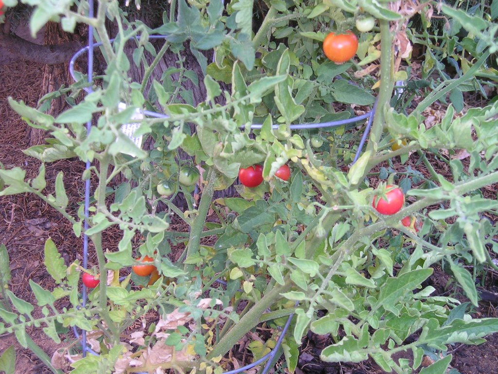 swiss chard planting instructions