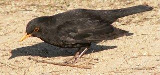blackbird/Amsel/kos