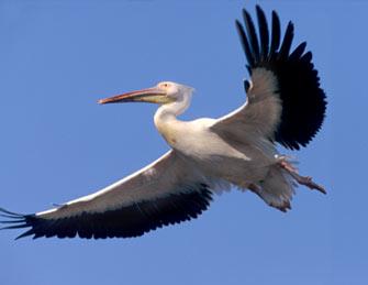 Sober pelican