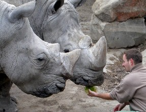 ¿Serán hembras estos rinocerontes?