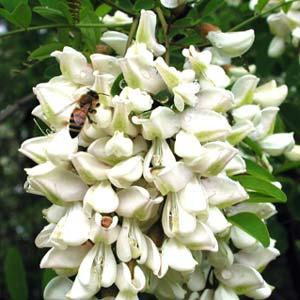 La flor de la acacia