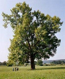 Un álamo (Populus sp.)