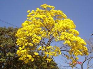 Árvores brasileiras em extinção