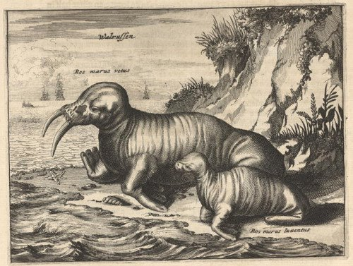 engraving of Canadian walrus + pup