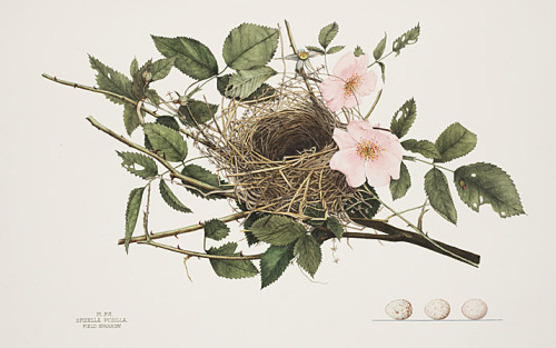 lithographic plate of bird's nest of twigs and eggs