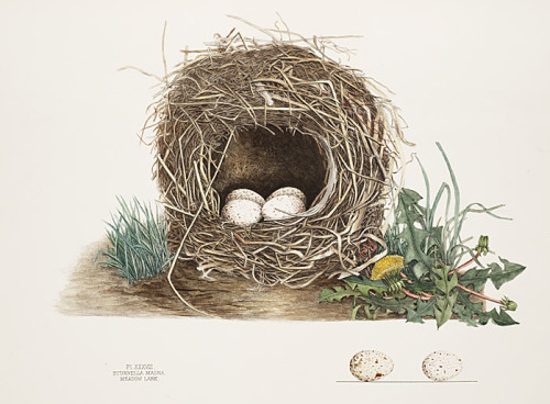 coloured lithograph by Genevieve Jones - the 'other Audubon'