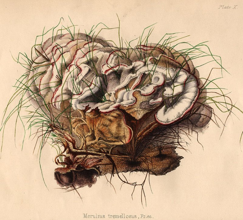 19th cent. coloured engraving of fungus species