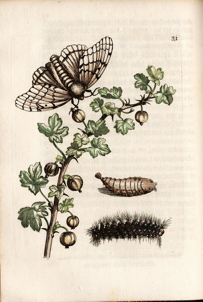 surinam insect (moth) illustration by maria sybilla Merian