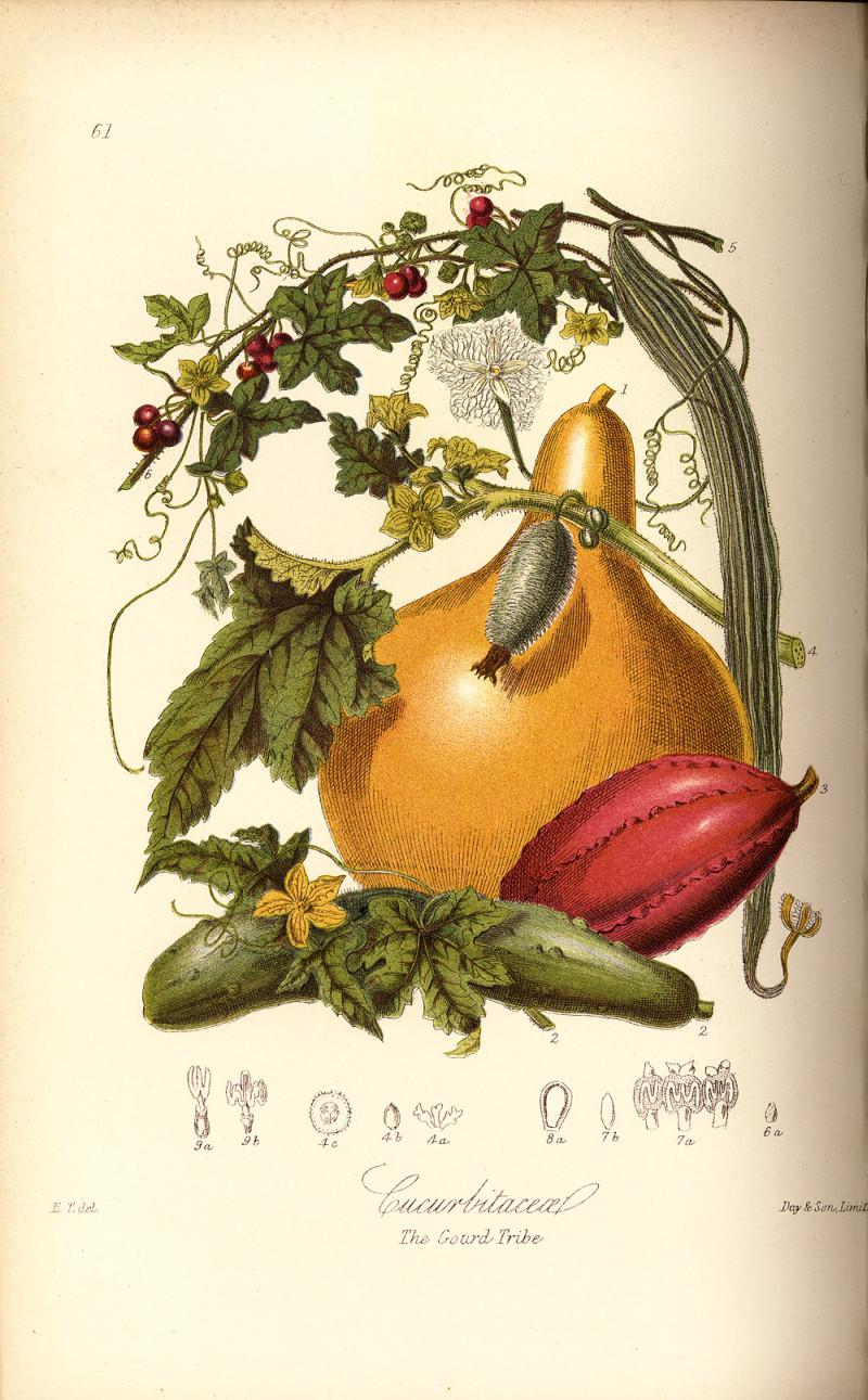 hand-coloured engraving of gourd and vegetables