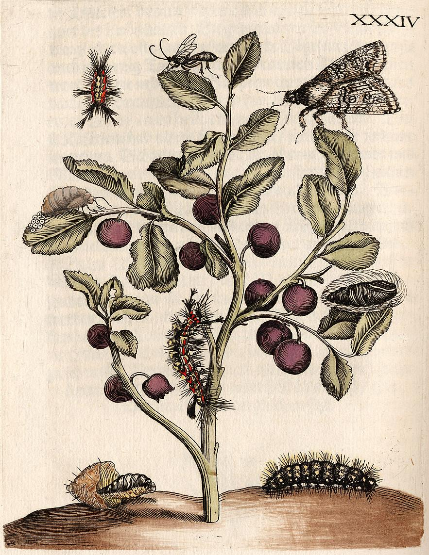 hand-coloured engraving of south american insects