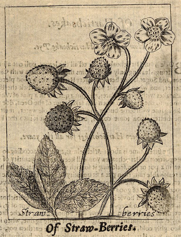 black & white botanical engraving