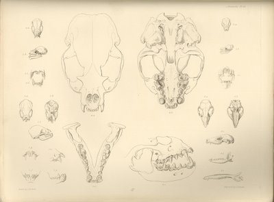 mammalian skeletal sketches