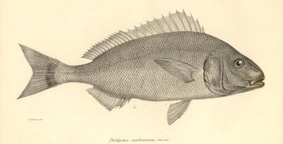 Pristipoma Cantharinium