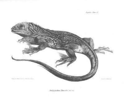 Amblyrynchus Demarlii