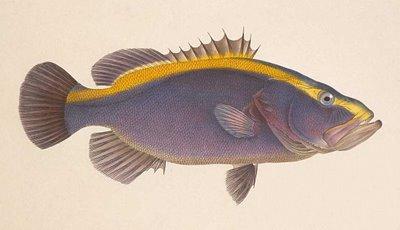 Aulacocephalus