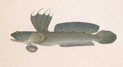 Boleophthalamus
