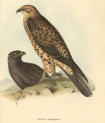 Craxirex galapagoensis