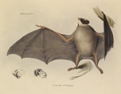 Desmodus D'Orbignyi