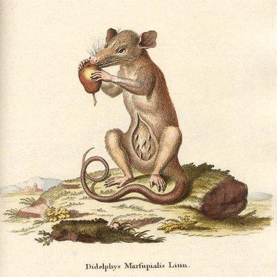 Diphelphys marsupialis
