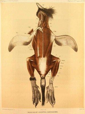 eudyptes chrysocome