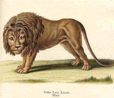 Felis leo