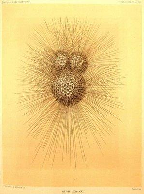 foraminifera globigerina