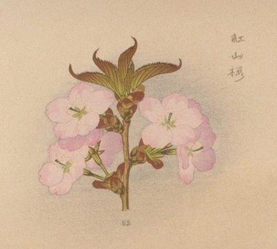 cherry blossom 11