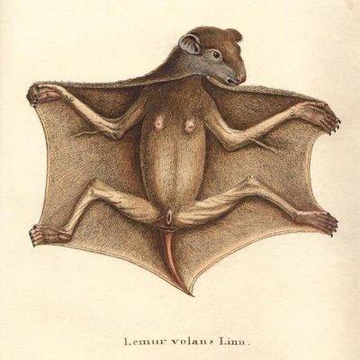 Lemur volans
