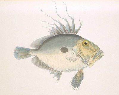 Matoudai - Zeus fish