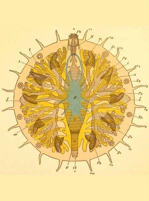 myzostomida