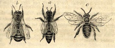 close up bee drawings