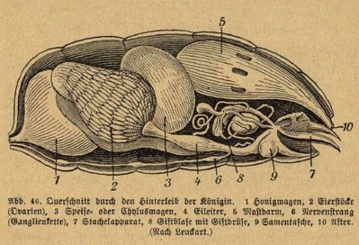 cross section bee anatomy