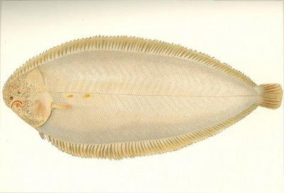 pale sole