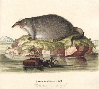 Sorex moschatus