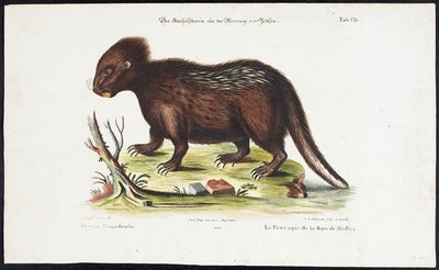 hudson bay porcupine