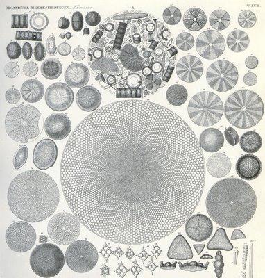 Tripelfels Organische Meeresbildungen