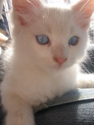 Pet Pictures: Cat Picture - A picutre of a cat with beautiful Blue Eyes