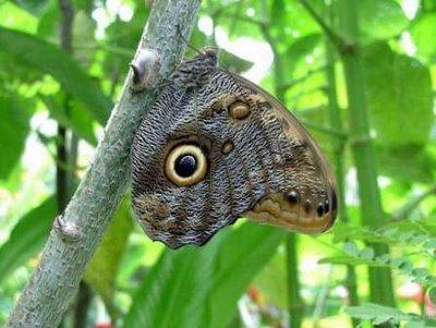 Buho de la Caña (Mariposa)