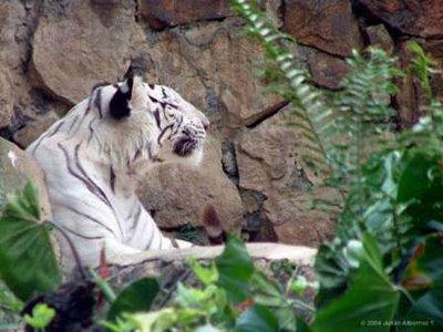 Tigre Blanco (No Albino)