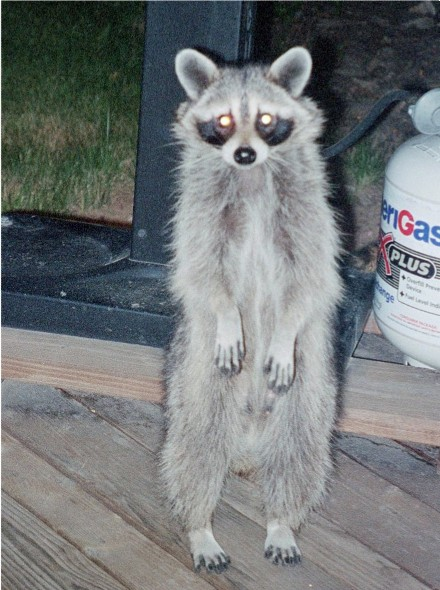 EBATW: State Regulations Concerning the Possession of ... Raccoons As Pets