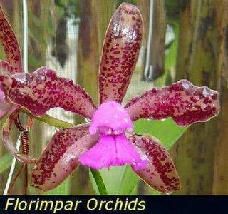 Cattleya leopoldi