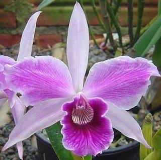 Laelia purpurata estriata